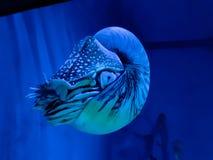 Nautilus nel colore blu Immagine Stock
