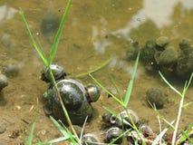 Nautilus nelle risaie come parassiti che distruggono le piante di riso nelle risaie/agricoltori tailandesi Immagini Stock