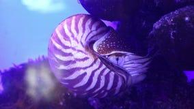 Nautilus, pelagic marine mollusc underwater stock video footage