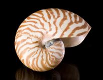 Nautilus pompilius Stock Photo