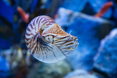 Nautilus pompilius or chambered nautilus, is a cephalopods with Stock Photography