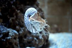 Nautilus pompillius Royalty Free Stock Photography