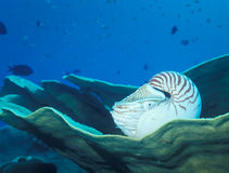 Nautilus Resting on Coral Stock Image