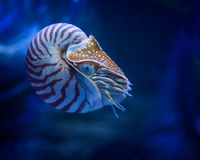 Nautilus Stock Photography