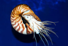 Nautilus sea shell Royalty Free Stock Images