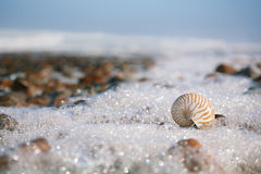 Nautilus sea shell on Atlantic ocean Legzira beach, morocco Stock Photos