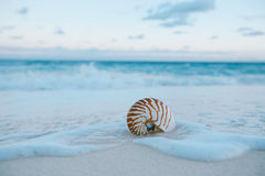 Nautilus sea shell on golden sand beach in  soft sunset light. Nautilus sea shell on golden sand beach with waves in  soft sunset light, shallow dof Royalty Free Stock Photo