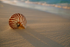 Nautilus sea shell on golden sand beach in  soft sunset light Stock Photos