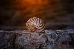 Nautilus seashell on rock with sunset Royalty Free Stock Photo