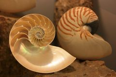 Nautilus Shell Royalty-vrije Stock Afbeeldingen