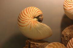 Nautilus Shell Stockfoto