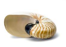 Nautilus shell. Nautilus macromphalus shell isolated against white background Royalty Free Stock Image