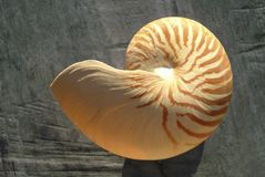 Nautilus shell. A large striped Nautilus shell Stock Image
