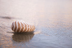 Nautilus shell on beach , golden sunrise Stock Photography