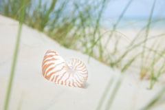 Nautilus shell on sand, beach grass royalty free stock photography