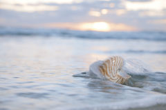 Nautilus shell in sea wave and sunrise Royalty Free Stock Photo