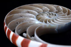 Nautilus Shell Sliced. Slice of a nautilus shell up close with shallow depth of field Royalty Free Stock Image