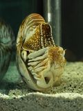 Nautilus shell swimming in acuarius stock images