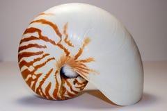 Nautilus Shell, Upright. The shell of a Nautilus (Nautilus Belauensis),  on a white background Stock Photos