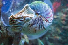Nautilus squid a rare and beautiful living shell fossil underwater sea animal. A Nautilus squid a rare and beautiful living shell fossil underwater sea animal royalty free stock photo