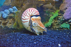 Nautilus a temperatura ambiente immagine stock libera da diritti
