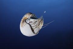 Nautilus. Underwater picture of a nautilus swimming in blue water, Palau, Micronesia Stock Image
