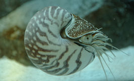 Nautilus in water stock photo