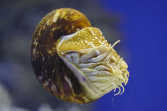 Nautilus in the water Royalty Free Stock Photo