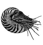 NautilusBW. Gravure effect in photoshop Royalty Free Stock Photography