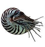 Nautiluskleur Royalty-vrije Stock Afbeelding
