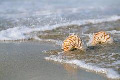 Nautilusmuschel zwei mit Seewelle, Florida-Strand unter der Sonne Stockfotografie