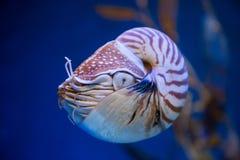 Nautiluspompilius of chambered nautilus, zijn een eekhoorntjesbrood Royalty-vrije Stock Afbeelding