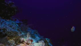 Nautilusshell die in blauw water met koraal zwemmen stock foto's