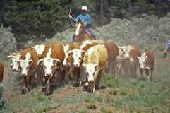 Navajo cowboys herding cattle on cattle drive, , AZ Stock Photos