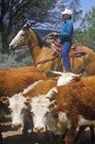 Navajo cowboys herding cattle on cattle drive, , AZ Stock Photo