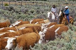 Navajo cowboys herding cattle on cattle drive, , AZ Royalty Free Stock Images