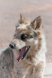 Navajo stray dog Stock Images