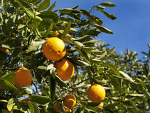 Naval Orange Tree. A California naval orange tree with ripe oranges on leafy branches, blue sky in background Royalty Free Stock Image