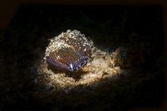 Navanax underwater snail in California royalty free stock image