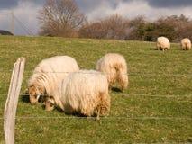 Navarra traditionell landskapplats med sheeps Arkivbild