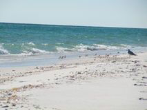 Navarre Beach. Seabirds and shells on Navarre Beach Blue Ocean with waves and sky Royalty Free Stock Photo