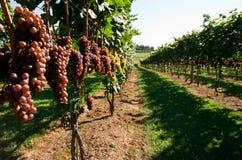 Navata laterale dell'uva Immagine Stock
