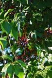 nave Blätter und Beeren im Sonnenlicht stockfoto