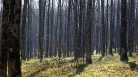 nave De lenteochtend in een eiken bosje Stock Afbeeldingen