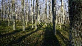 nave De lenteochtend in een eiken bosje Stock Foto's