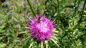 nave pollination Os insetos alimentam no n?ctar em uma flor de um cardo fundido pelo vento em um dia de mola filme
