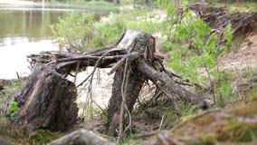 nave Trockener alter Stumpf mit den Wurzeln geworfen auf das Ufer stock video