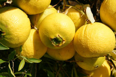 Navel orange, Citrus sinensis Stock Photos