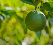 Navel orange about to ripen on the tree in Arizona Stock Photography