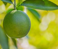 Navel orange about to ripen on the tree in Arizona Stock Photo